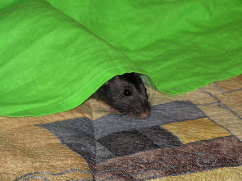 во сонник убить сне крыс